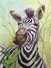 Zilly the Zebra